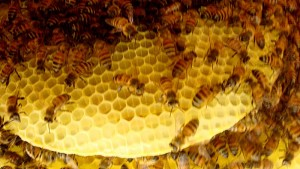 The end-comb that's loaded with honey and pollen and some eggs.