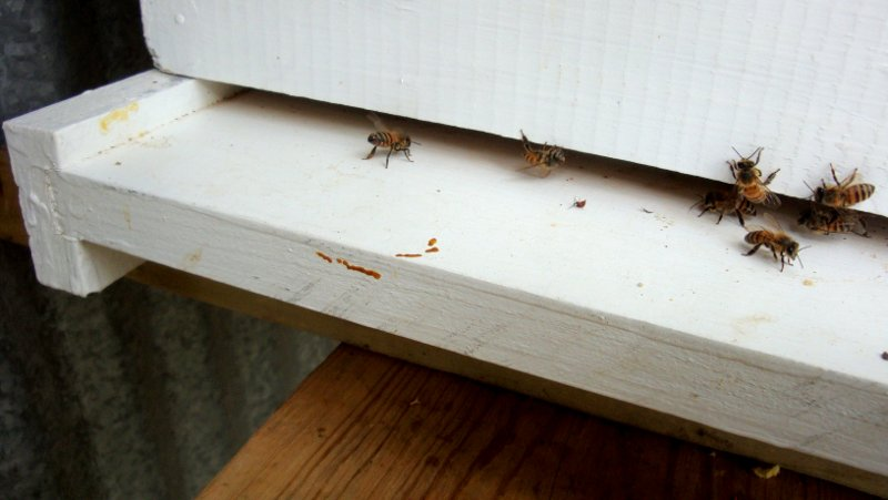 A bee scenting on the landing board of the new hive.