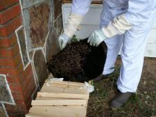 Ready to brush bees from comb into hive.