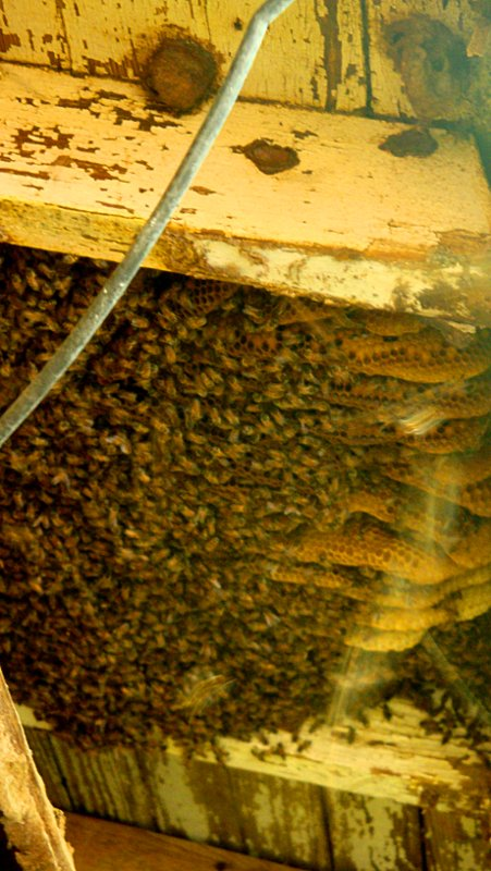 A decent colony of bees filling up their cavity.
