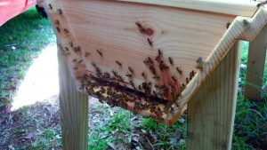 Happy bees scenting on the entrance of their new home.