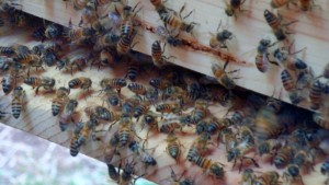 As the hive filled up, they start scenting, or fanning, on the entrance. A sign we got the queen.