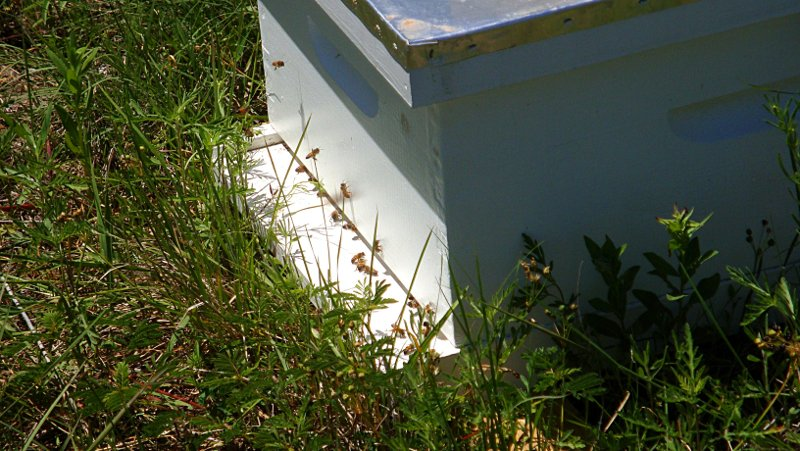 Happy bees very quickly filling up their one-box home.