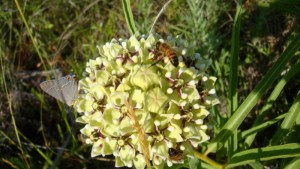 I believe this is Asclepias asperula - Spider Milkweed