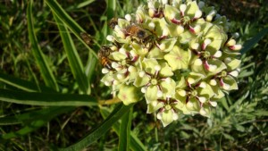 Bees like Milkweed Flowers