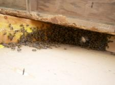 Final cluster of bees