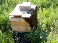 Cutout JHH-style Hive with swarm bearding on it.