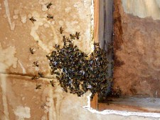 Bees even overflowing inside shed.