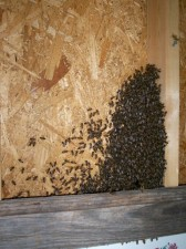 Bees forming colony behind a picture.
